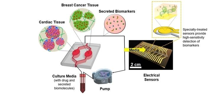 Schematic of heart-breast cancer-on-a-chip.