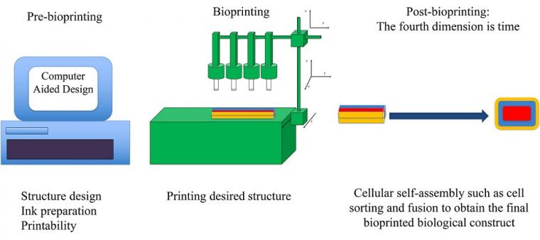 Bioprinting comprises three main stages: 1. Pre-bioprinting, which includes...