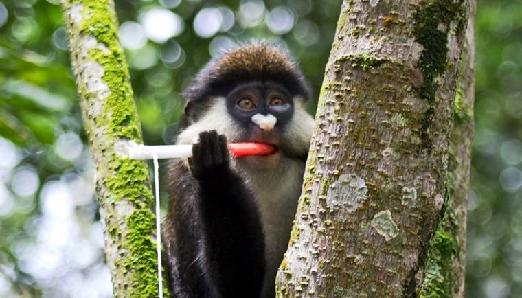 A red-tailed guenon in Bwindi Impenetrable Forest region in Uganda chews on a...