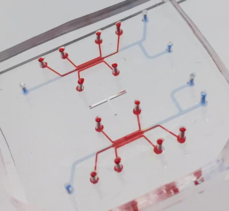 The blood-brain barrier on a chip is as small as many organs on chips, but it...