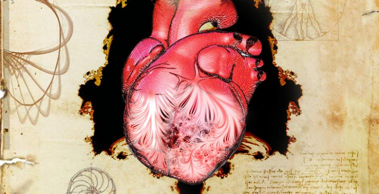 The heart and its trabeculae, first described by Leonardo da Vinci.